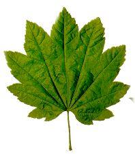 Herbarium Blätter herbarium erstellt dorilys